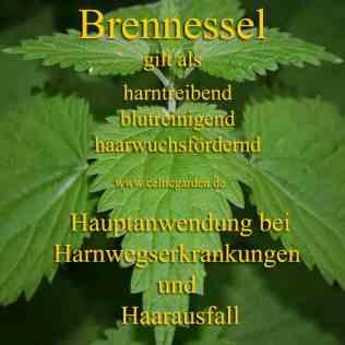 heilpflanze_brennesselkl