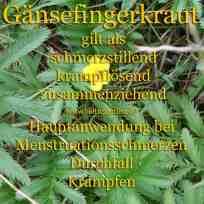 heilpflanze_gänsefingerkrautkl