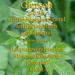heilpflanze_giersch