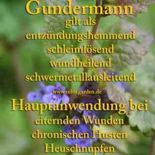 heilpflanze_gundermann