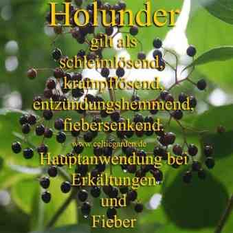 holunder monographie