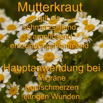 Steckbrief Mutterkraut