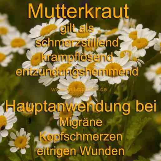 heilpflanze_mutterkraut
