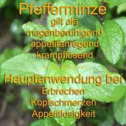 heilpflanze_pfefferminze