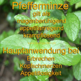 heilpflanze_pfefferminze