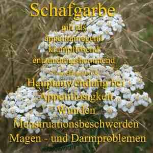 Steckbrief Schafgarbe