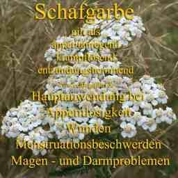 heilpflanze_schafgarbekl