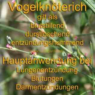 heilpflanze_vogelknöterich
