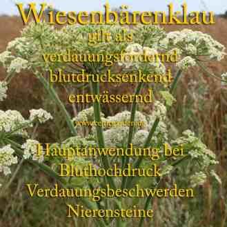 Steckbrief Wiesenbärenklau