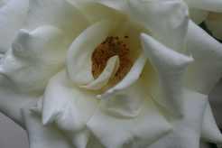 Weisse Rosen in der Herbst-Tagundnachtgleiche