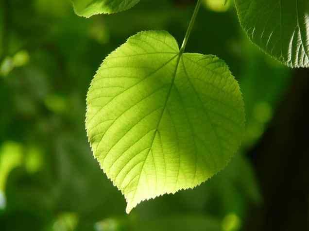 lindenblätter essen