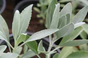 Räuchersalbei Salvia apiana