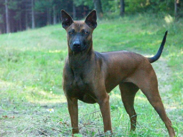 photo thai ridgeback dog dog standard thailand ridgeback