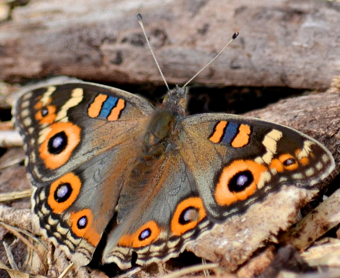 Butterfly pic by Bronwyn Maurer