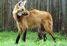 Cédula de R$ 200: conheça as lobas que servirão de modelo para a nova nota