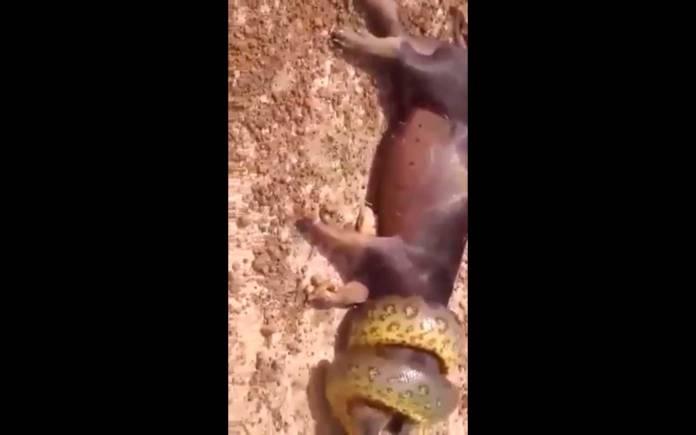 cobra sucuri arrasta porco para água e é morta com facão