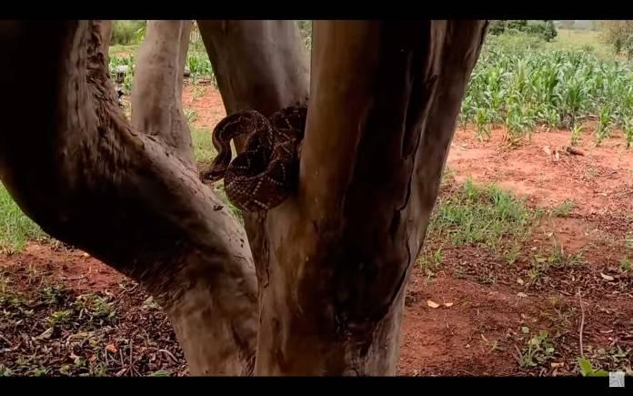 Cobra cascavel pé de goiaba
