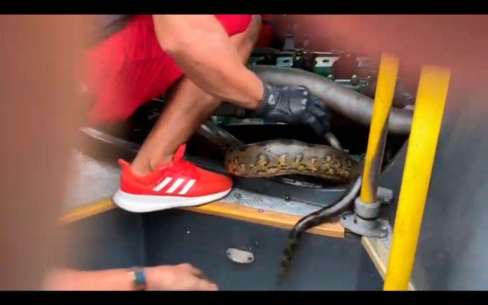 Cobra sucuri em ônibus em manaus