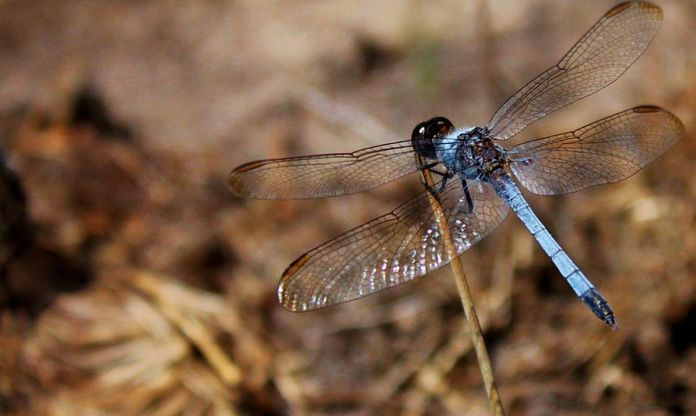 Nova espécie de libélula