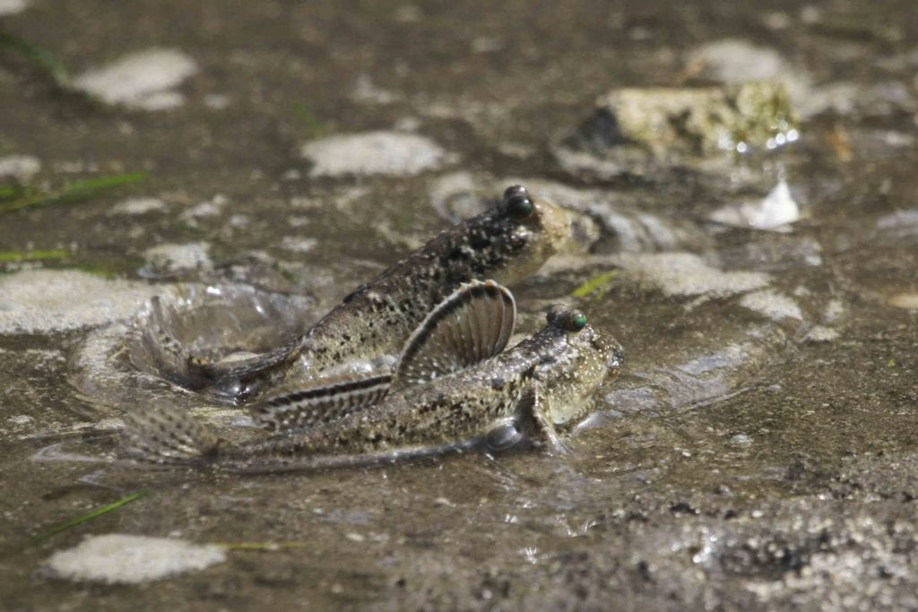 Barred mudskippers are found on the mudflats between Nusa's mangrove forests.