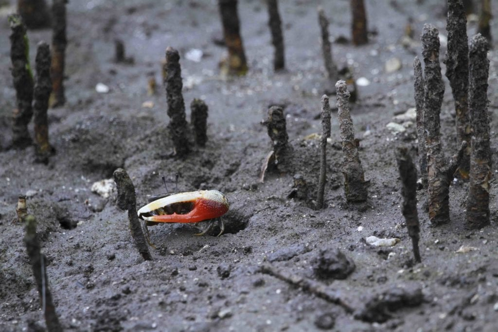 You cannot get around fiddler crabs on Nusa Ceningan and Nusa Lembongan.