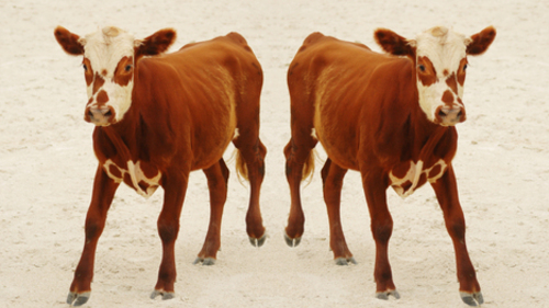 Center for Food Safety | Issues | | Animal Cloning