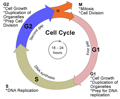 Image result for cell cycle