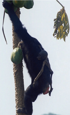 Mother climbs a tree for food carrying her dead infant.