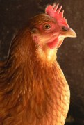 Who says chickens are stupid?