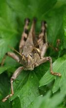 omega-grasshopper