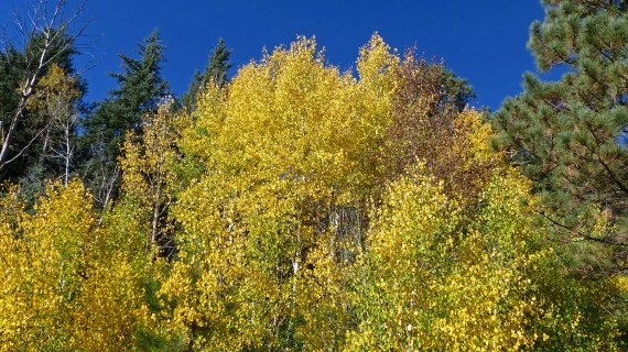 Aspen Fall Color