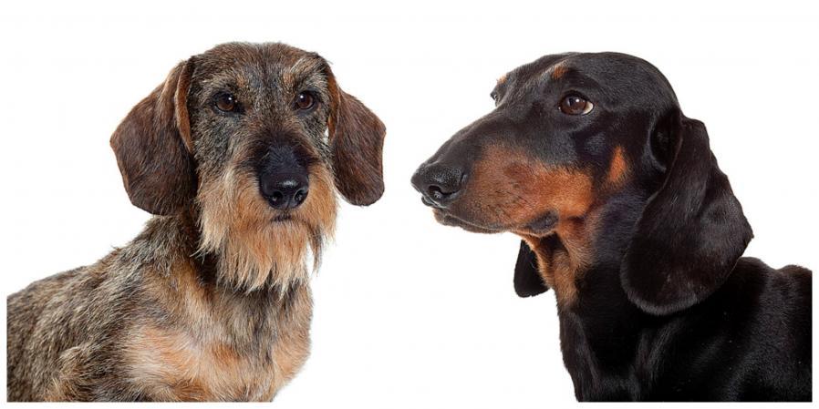 Les chiens de race 6