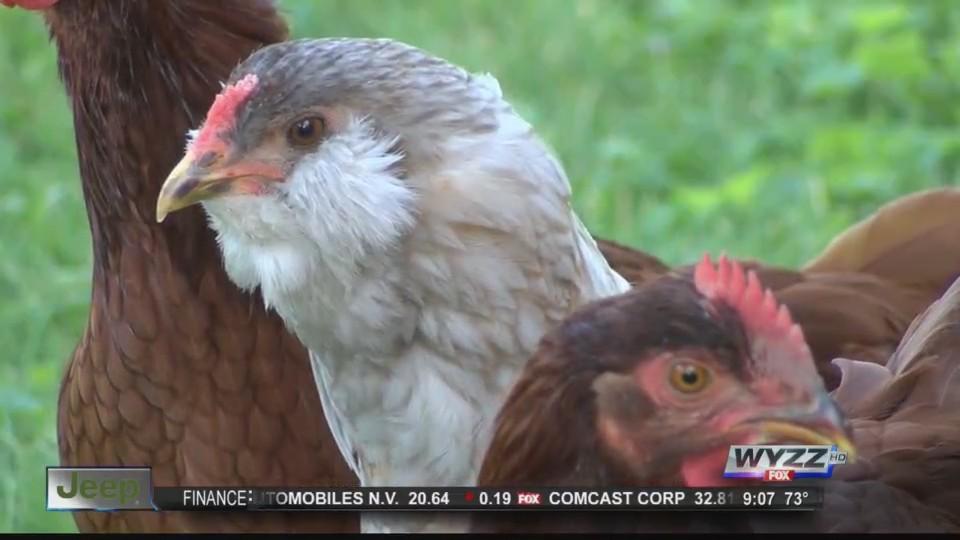 no more chickens