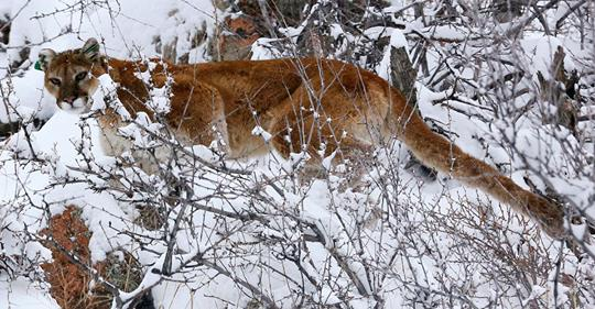 mountain lion_1549482188930.jpg.jpg