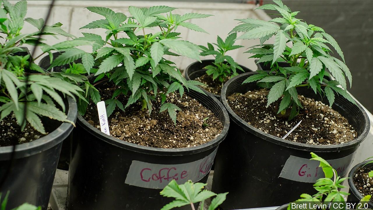 legal weed (2)_1557435227160.jpg.jpg