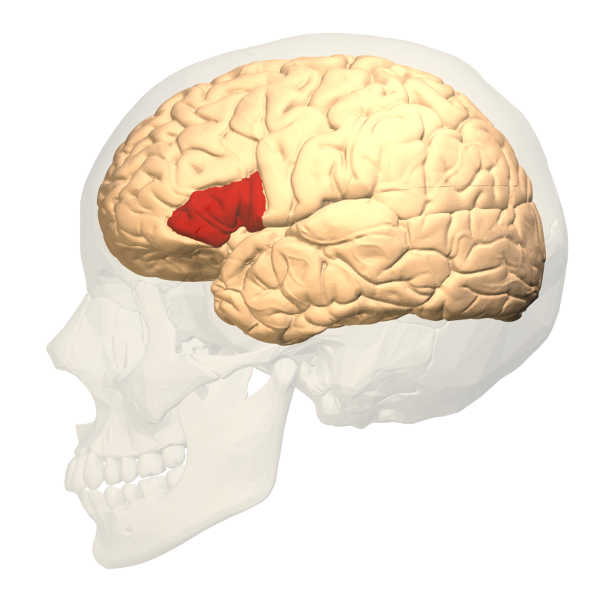 La dyslexie, une difficulté à lire et à saisir le langage, résulterait d'une mauvaise connectivité entre deux régions du cerveau, révèle jeudi une recherche qui apporte un nouvel éclairage sur l'origine de ce trouble neurologique touchant 10% de la population mondiale | Photo : Wiki