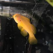 yellowcinamongoby