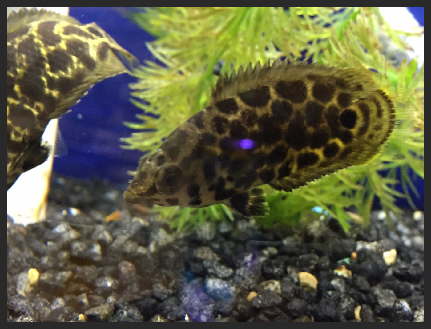 Freshwater aquarium fish store near me - Fish Of The Month Spotted Leaf Fish