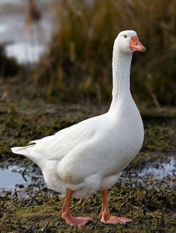 """""""Domestic Goose"""" di Noodle snacks - Opera propria. Con licenza CC BY-SA 3.0 tramite Wikimedia Commons - https://commons.wikimedia.org/wiki/File:Domestic_Goose.jpg#/media/File:Domestic_Goose.jpg"""