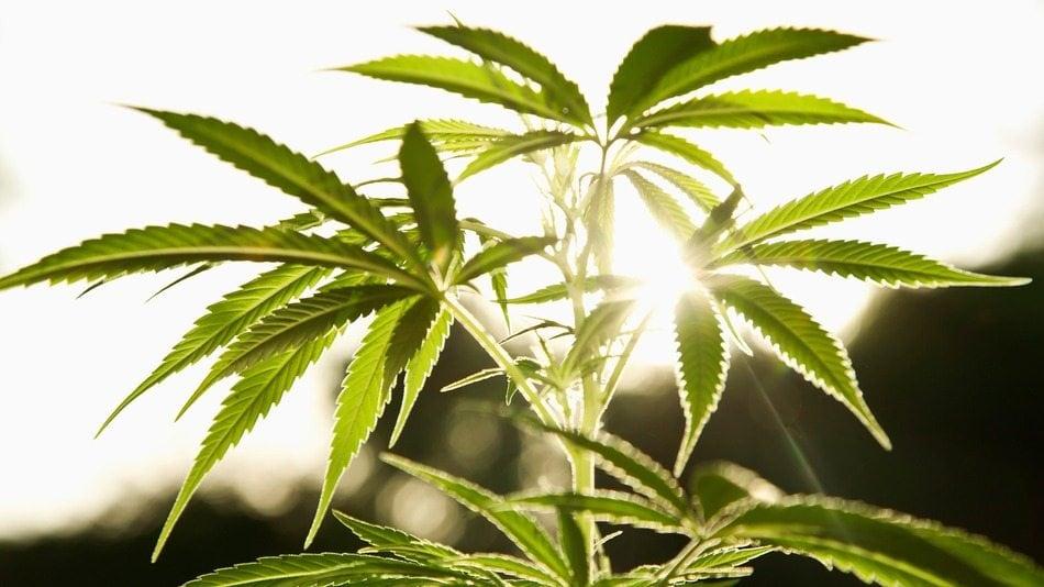 L'epidemia della cannabis