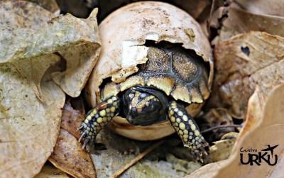 Tortuga bebé Centro Urku