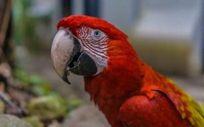 Historia de centenario, el guacamayo