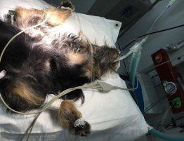 perro-anestesiado