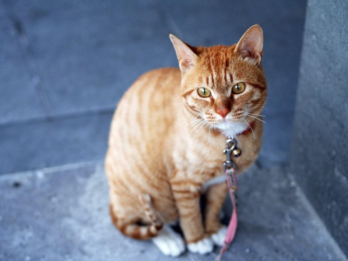 gato cascabel