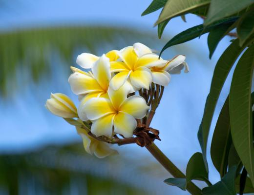 Flowers in Nauru