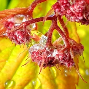 Raindrop on Spirea Goldflame shrub