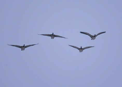 Cackling Geese coming in for a landing