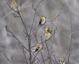 Grumpy American Goldfinch