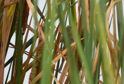 Nelson's Sparrow Deep in the Cattails