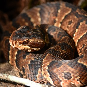 Cottonmouth (a beaut!)